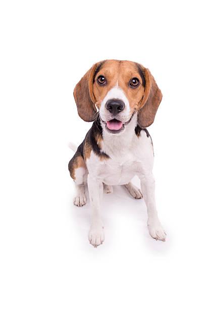 Kleinen Beagle sitzen, isoliert – Foto