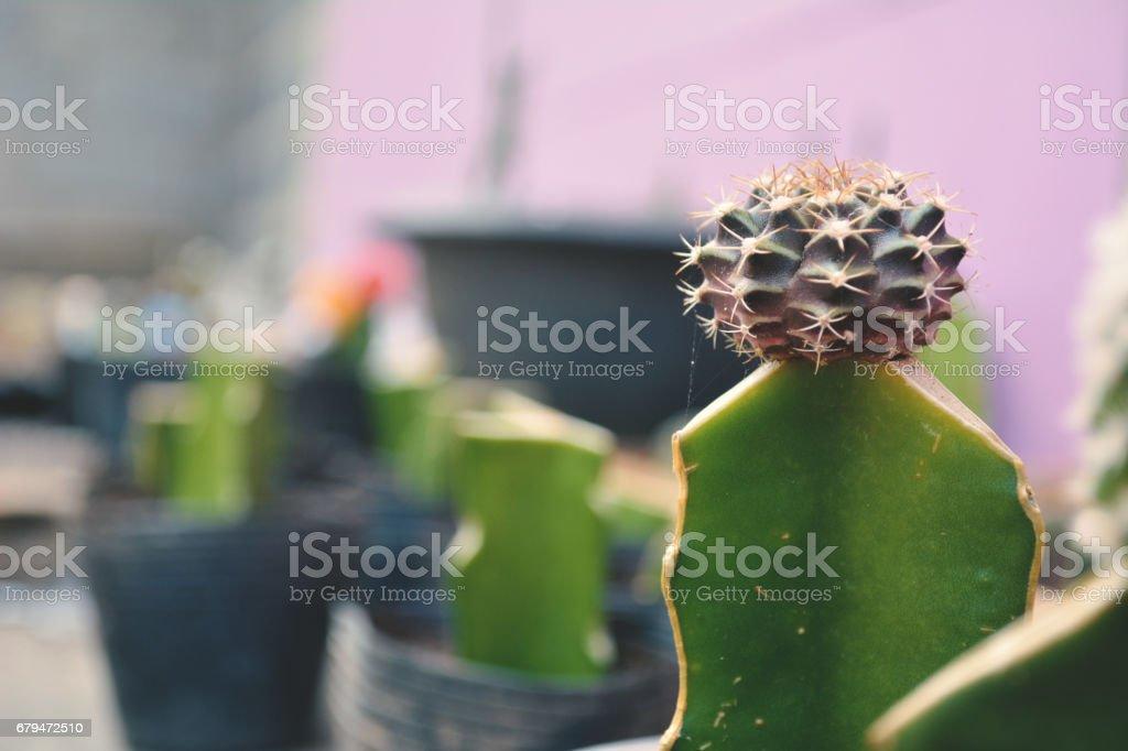Little beautiful cactus  purple background , hipster tone 免版稅 stock photo