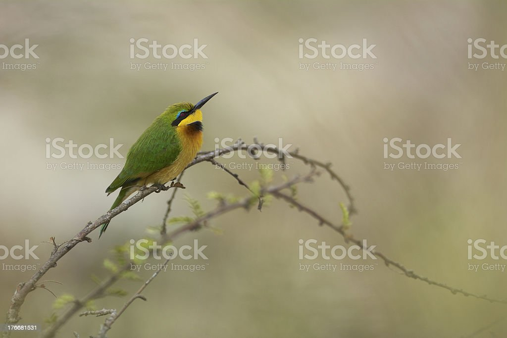 little bee eater royalty-free stock photo