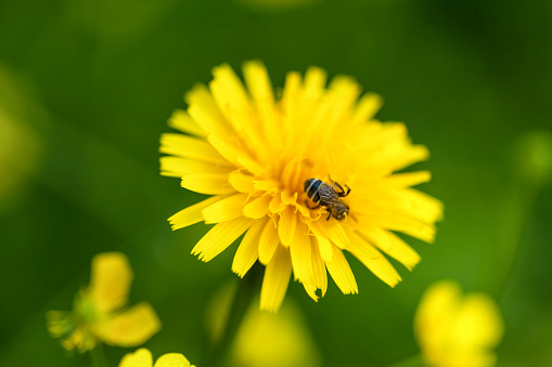 A small bee collects nectar on a yellow dandelion flower