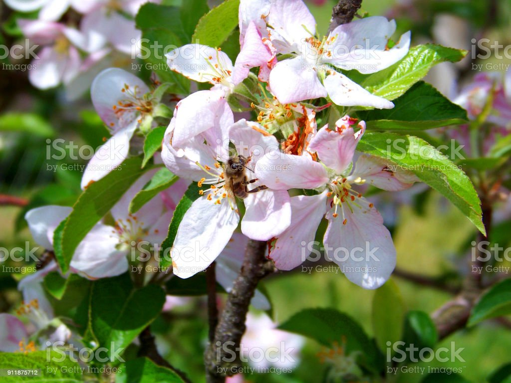Little bee working on an apple tree pinky white flowers closeup, another in the green leafy and blooming background stock photo