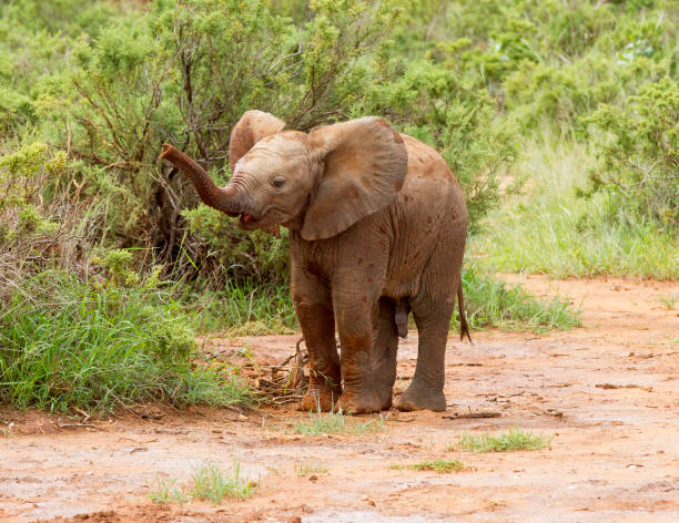 Little Big Man A young African Elephant. Taken in Samburu, Kenya animal trunk stock pictures, royalty-free photos & images