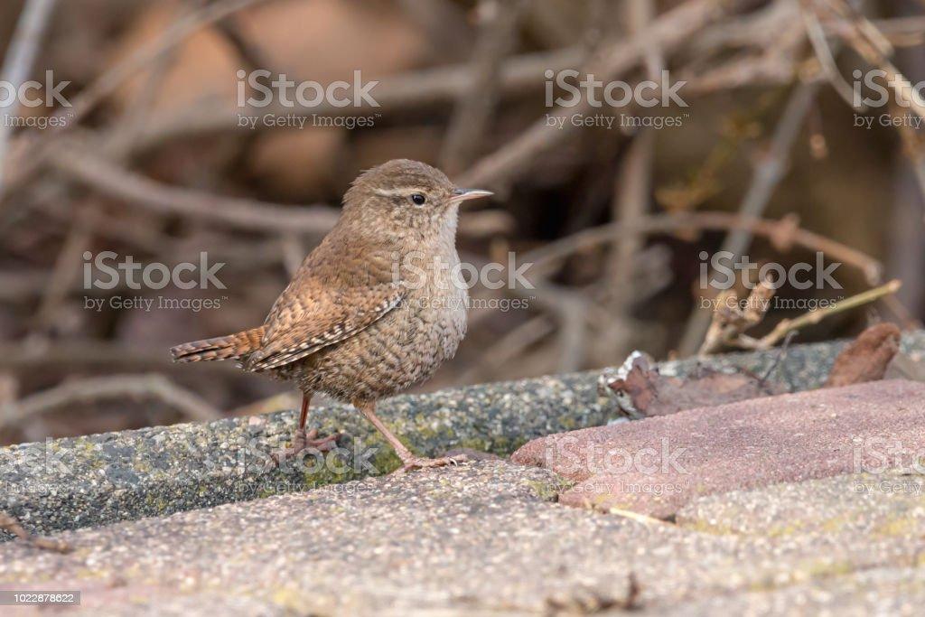 Carriça Eurasian da pequeno pássaro com marrom backgraund turva - foto de acervo