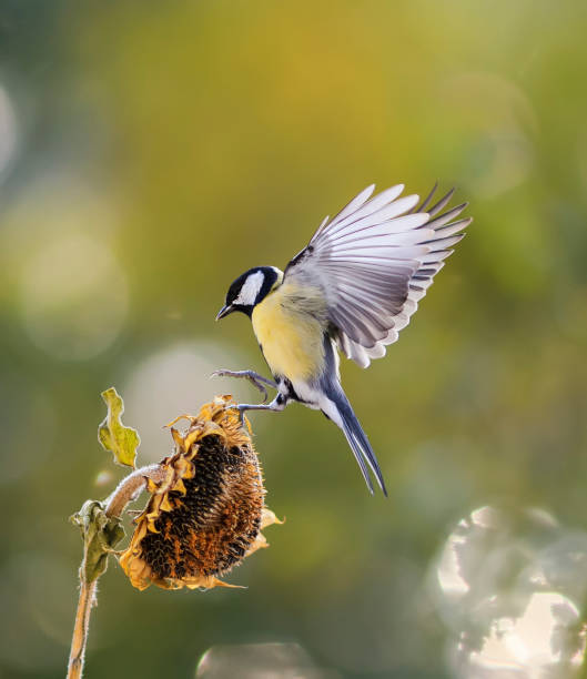 little bird flies to the flower of the sunflower seeds and eagerly bite stock photo