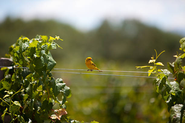 Little bird, Vineyard Check these other images shallow stock pictures, royalty-free photos & images