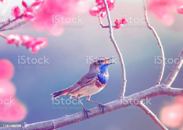 Photo of little bird with a blue throat sits on a flowering rose bushes in the garden  may Sunny garden in delicate lilac tones