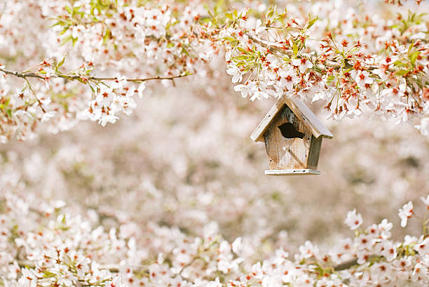 Little Birdhouse in Spring with blossom cherry flower sakura stock photo
