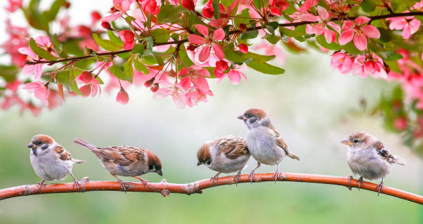 little birds sparrows may sit in the Sunny garden among the flowering branches of pink Apple little birds sparrows may sit in the Sunny garden among the flowering branches of pink Apple chickadee stock pictures, royalty-free photos & images