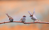 pugnacious little  birds sparrows sitting on a tree branch in a Sunny clear Park and waving their wings