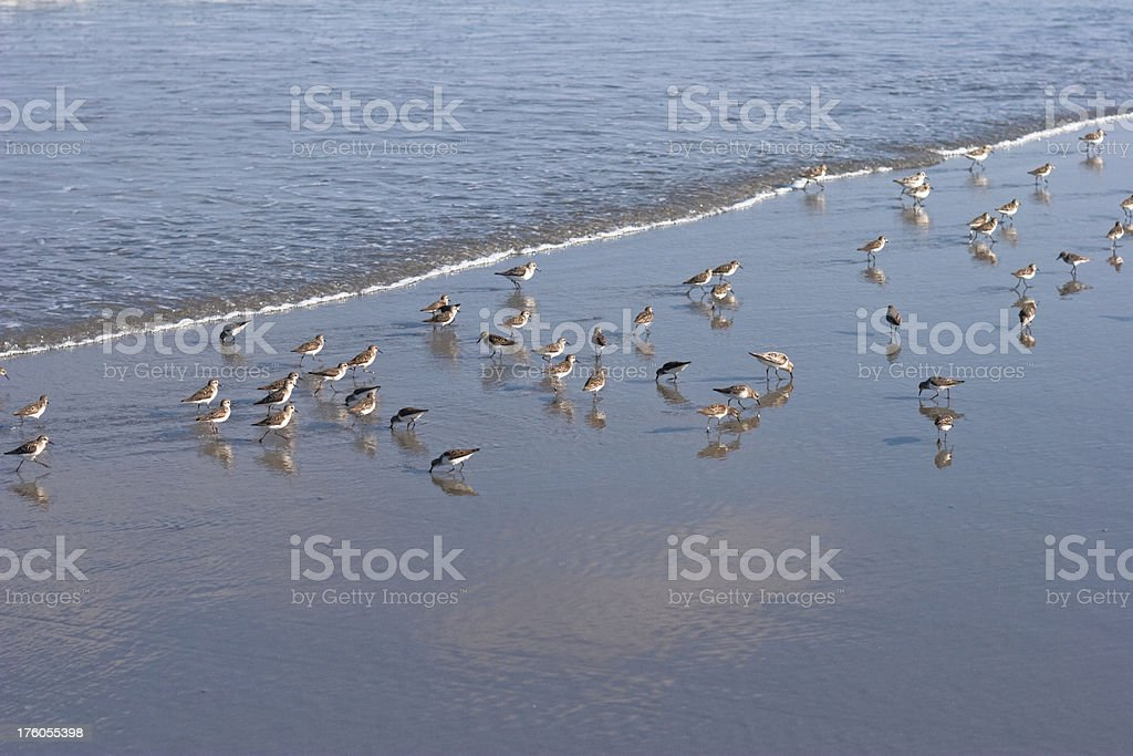 Little Birds Wading in the Sea on Beach royalty-free stock photo