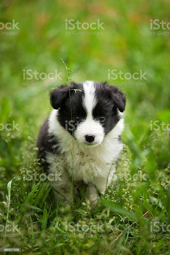 Kleinen schwarzen und weißen border-collie Hund im Gras – Foto