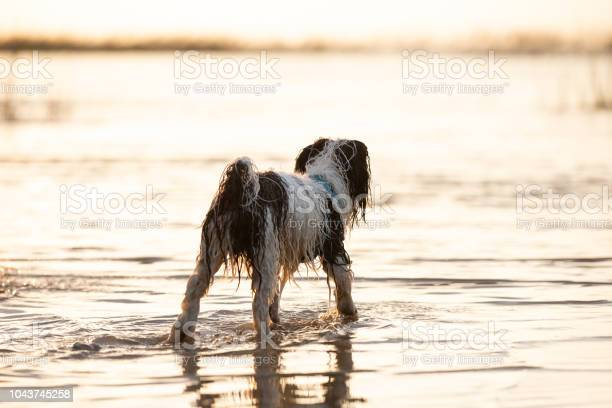 Little black and white dog running around in shallow waters picture id1043745258?b=1&k=6&m=1043745258&s=612x612&h=g8bqtpqseqg923lxw5s2l9k0qwz1cuusp2eednvjndy=