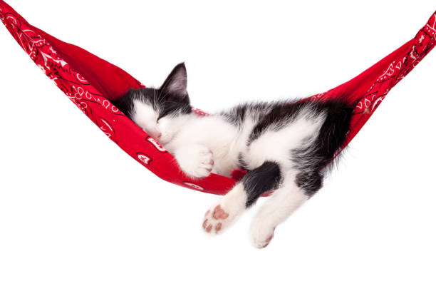 Little black and white kitten sleeps on a red hammock. Small cat sleeps sweetly as a small bed. Sleeping cat on a white background. Cats rest after eating. – zdjęcie