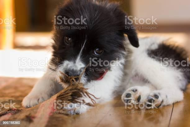 Little black and white puppy acting playful biting a carpet in the picture id999788360?b=1&k=6&m=999788360&s=612x612&h=ljojtifj q kpakndlpqxs3b1vptqcjh0qiozkrr9ju=