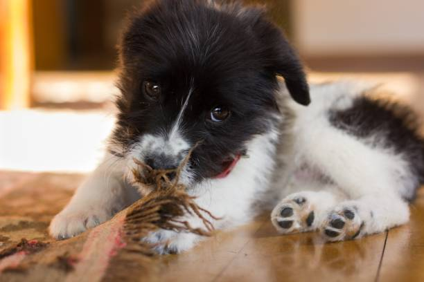 Little black and white puppy acting playful biting a carpet in the living room stock photo