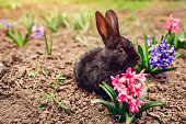Little black baby rabbit sitting among spring flowers in garden on farm. Easter concept