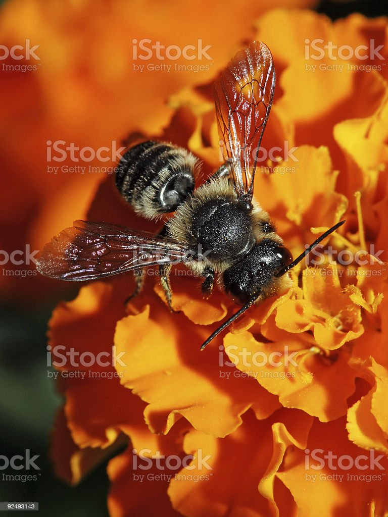 Little black bee 04 royalty-free stock photo