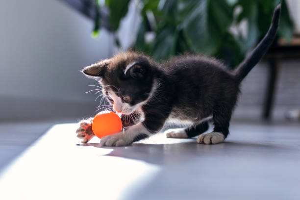 Little black kitten playing and enjoys with orange ball at living of picture id1186954832?b=1&k=6&m=1186954832&s=612x612&w=0&h=dui01dv0dxisunqzd7e j7udvinudpxgrd nnse5eei=