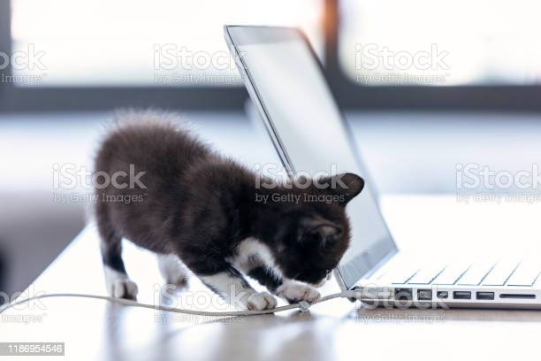 Little black kitten playing with the laptop cable at living room of picture id1186954546?b=1&k=6&m=1186954546&s=612x612&h=huywzq2raobqlji7xwlc7gqpso3wg7nhavulytipa7i=