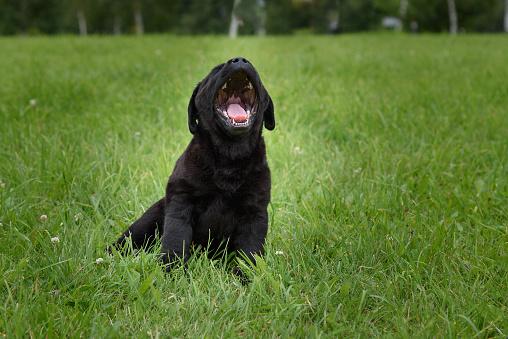 little black Labrador puppy yawns sitting on a green grass