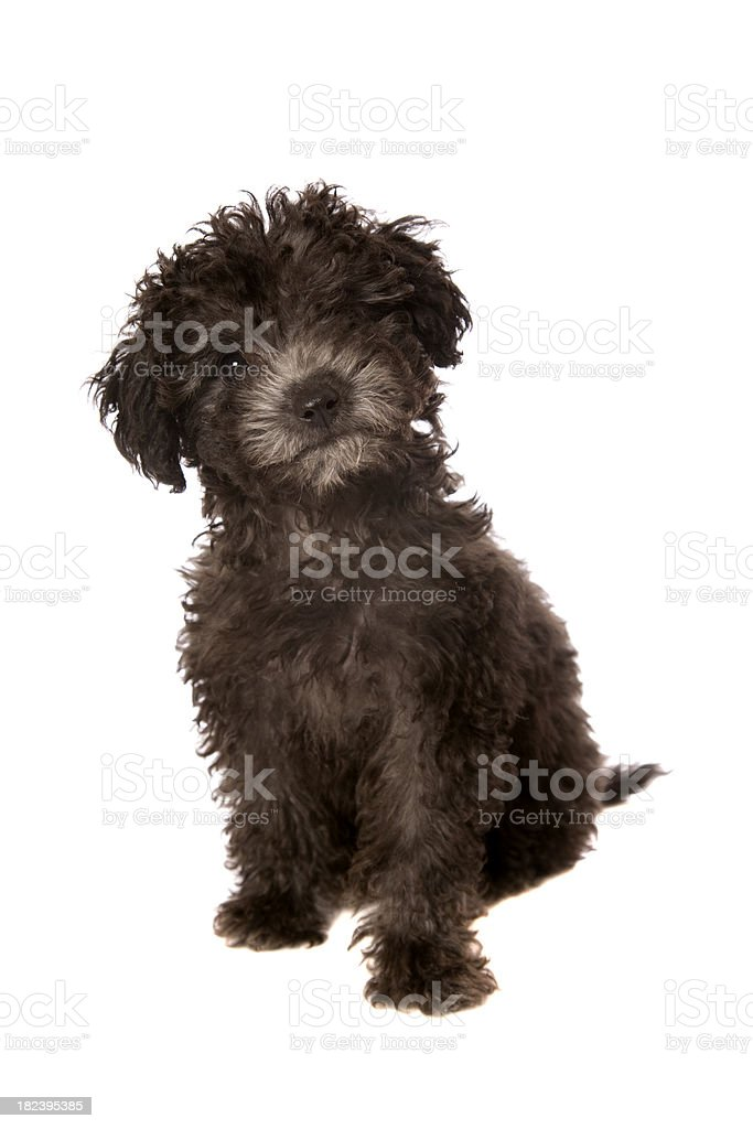 Little Black Poodle Puppy Stock Photo Download Image Now Istock