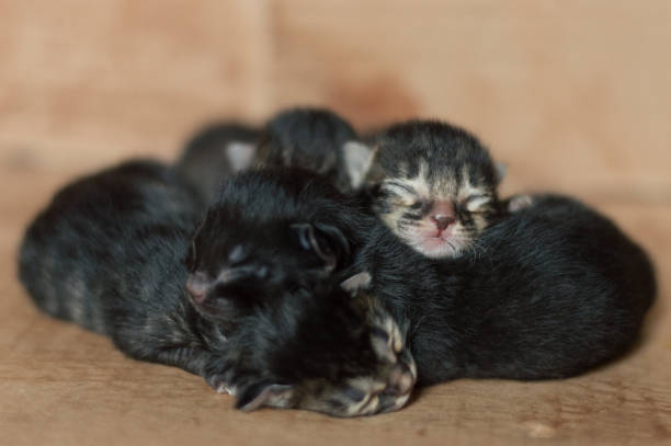 Little blind newborn kittens sleeping in a cardboard box stock photo