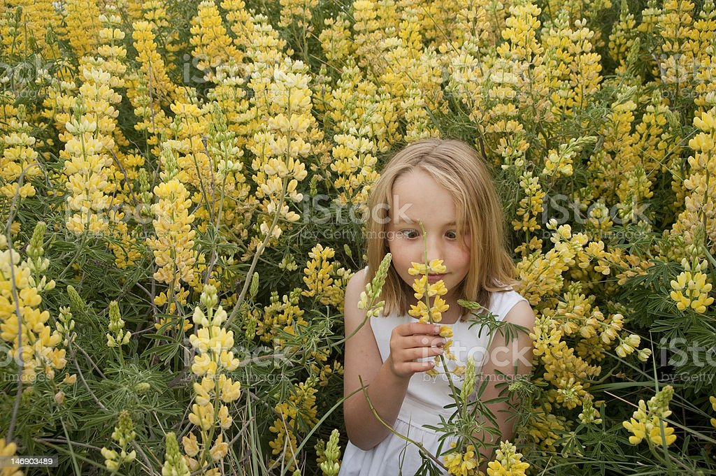 little blonde girl playing in yellow lupines stock photo
