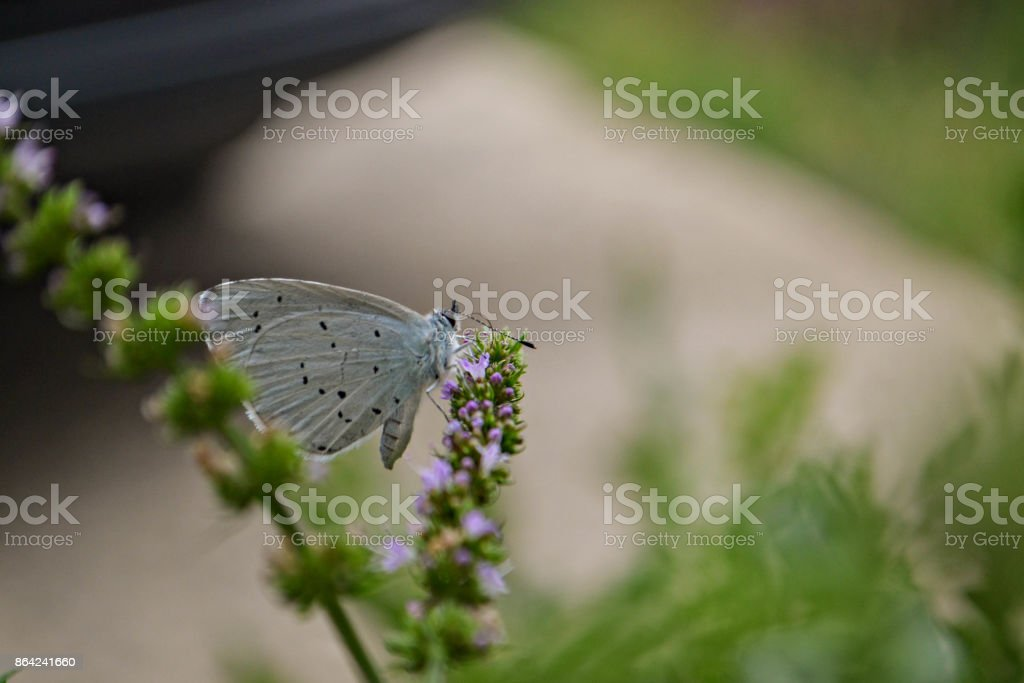 Little blue butterfly flying over lavender flower royalty-free stock photo