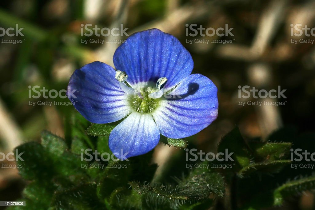 little blue flower of a prize stock photo