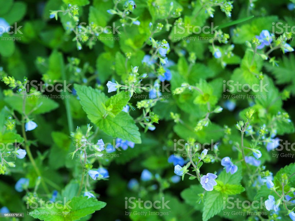 Little blue flowers on a background of green grass top view veronica little blue flowers on a background of green grass top view veronica chamaedrys flower izmirmasajfo
