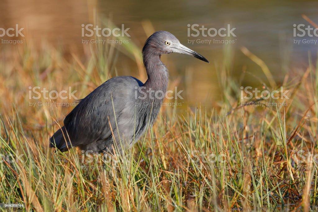Little Blue Heron at the edge of a marsh - Port Charlotte. Florida