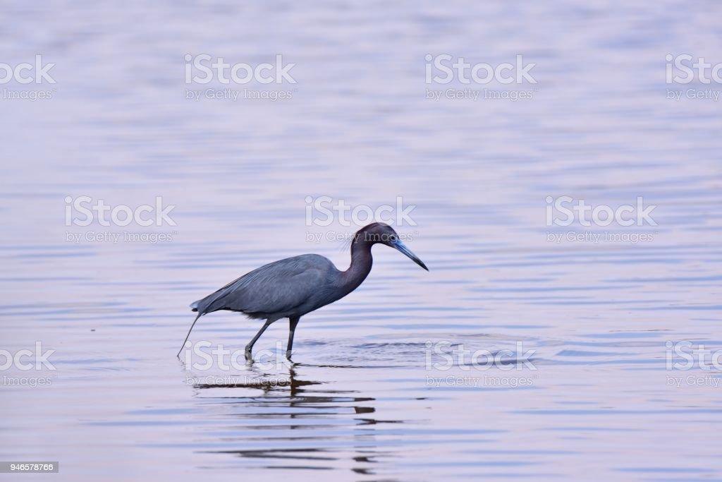 Little Blue Heron Hunting stock photo