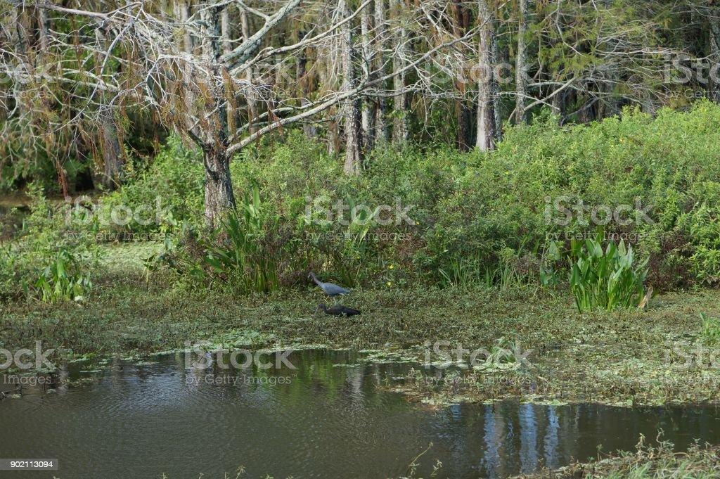 little blue heron in swamp stock photo
