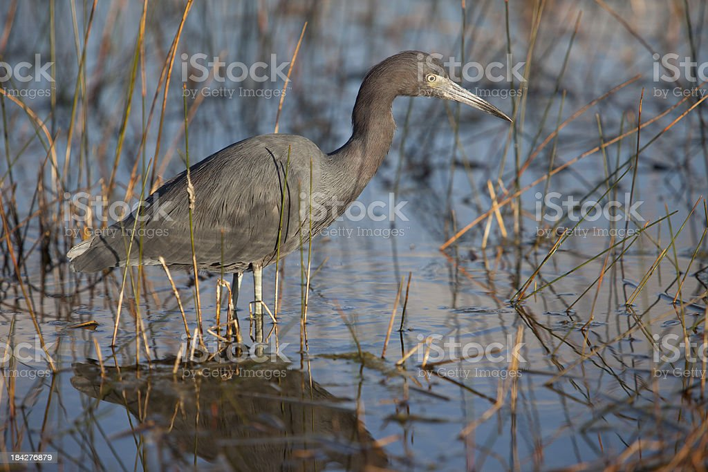 Little Blue Heron ready to catch its prey royalty-free stock photo
