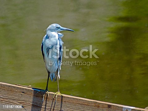 Little Blue Herons are born all white, becoming a dark slate-blue as they mature into adults.