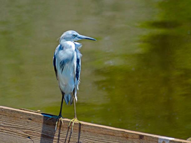 kopya alanı ile küçük mavi balıkçıl - balıkçıl stok fotoğraflar ve resimler