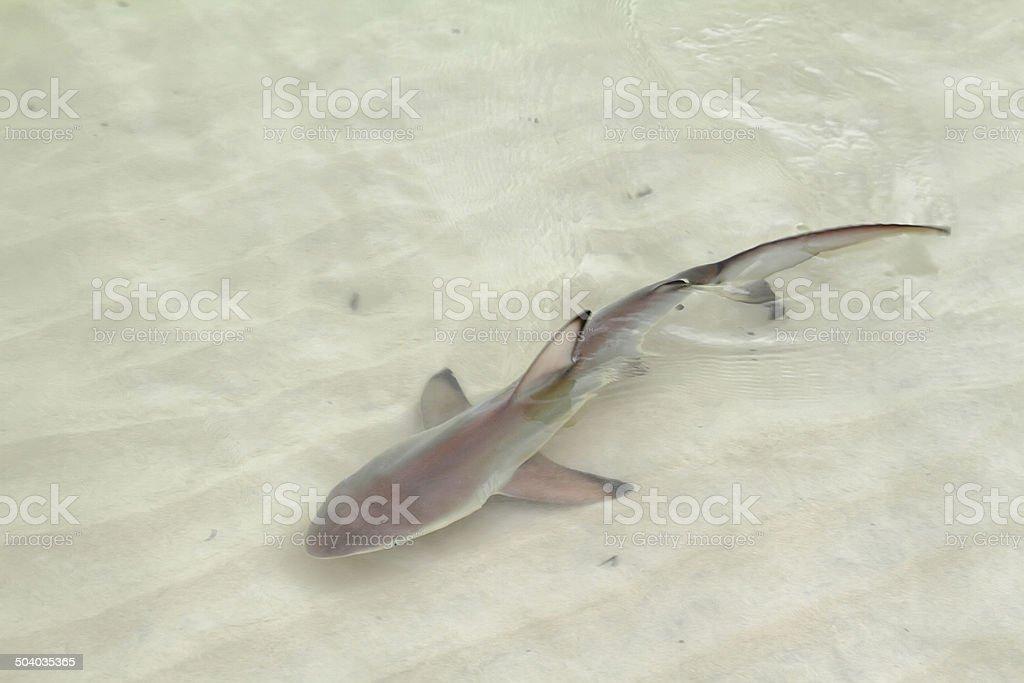 Little blue shark in Santa Cruz, Galapagos stock photo