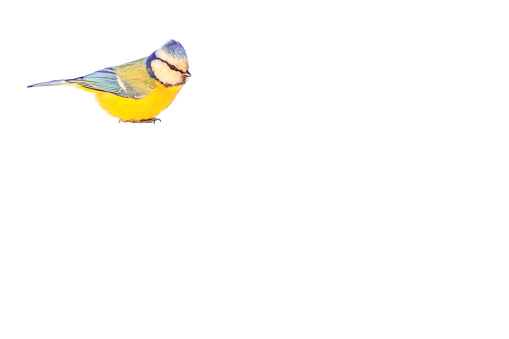 beautiful little blue tit bird isolated on white background with place for text