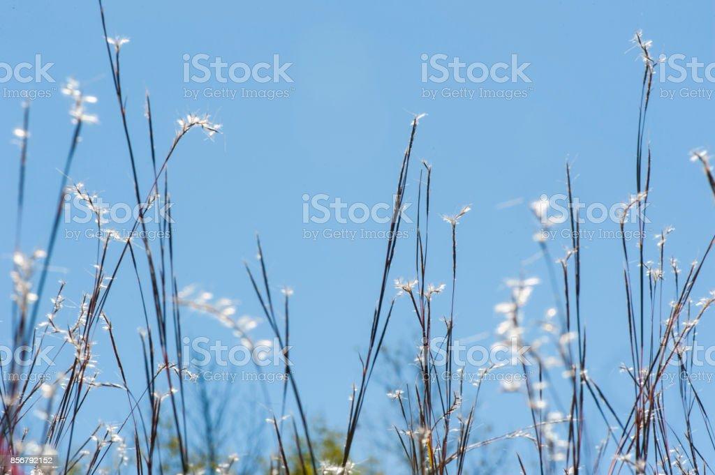 Little Bluestem Grass in Autumn stock photo
