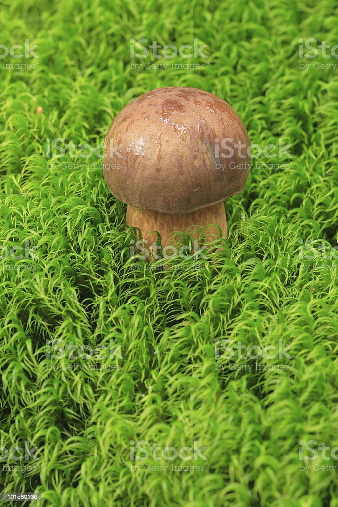 Little Boletus Mushroom in The Moss royalty-free stock photo