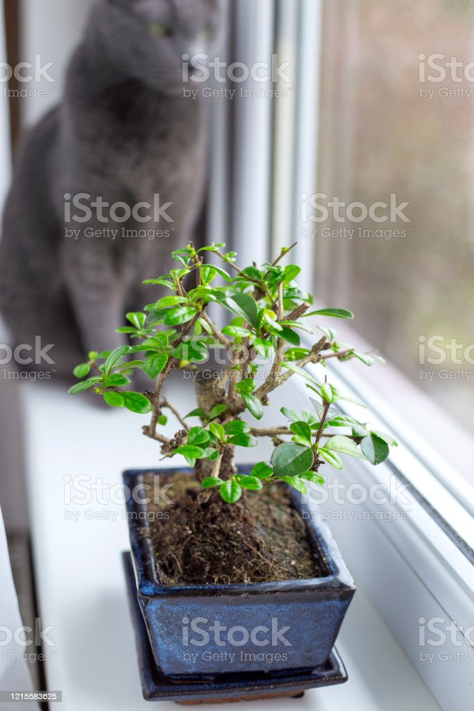 Little Bonsai Tree Carmona Microphylla Growing In A Rectangle Flower Pot On Window Sill Stock Photo Download Image Now Istock