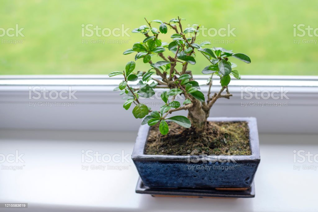 Little Bonsai Tree Carmona Microphylla Tropical Evergreen Dendroid Shrub With Oval Dark Green Glossy Leaves Topped With Small White Dots Growing In A Rectangle Flower Pot On A Window Sill Stock Photo