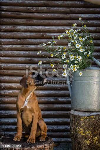 Little puppy sitting on the stump and smelling flowers.