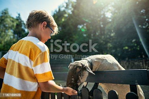 Little boy is feeding sheep over fence. Sunny summer day. Nikon D850.