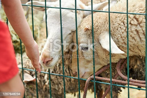 little boy feeding small sheeps at animal farm. sheeps eating grass.
