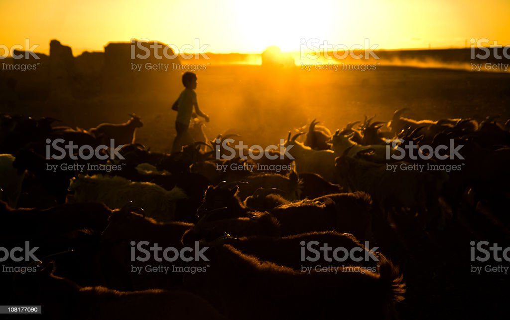 Little Boy Herding Goats at Dusk stock photo