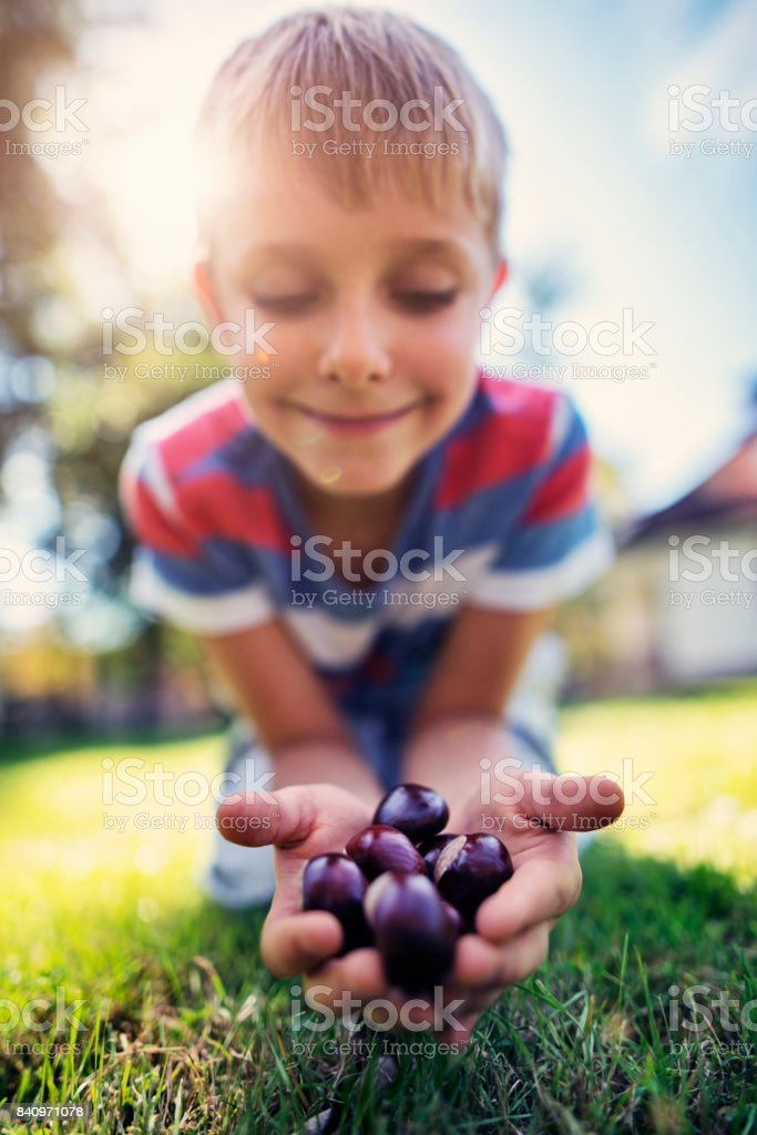 Little boy holding handful of conkers stock photo