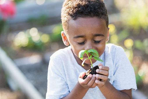 Little boy (5 years) in community garden, smelling fresh herb plant.