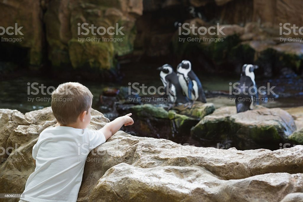 Niño pequeño viendo pingüinos - foto de stock