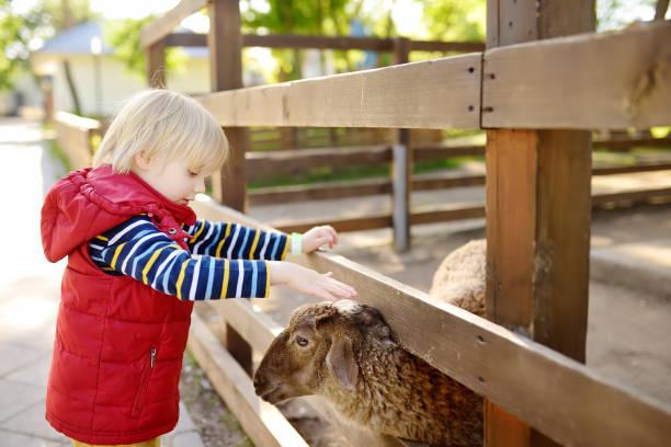 Niño acariciando ovejas. Niño en el zoológico de mascotas. Niño divirtiéndose en la granja con animales. Niños y animales. - foto de stock
